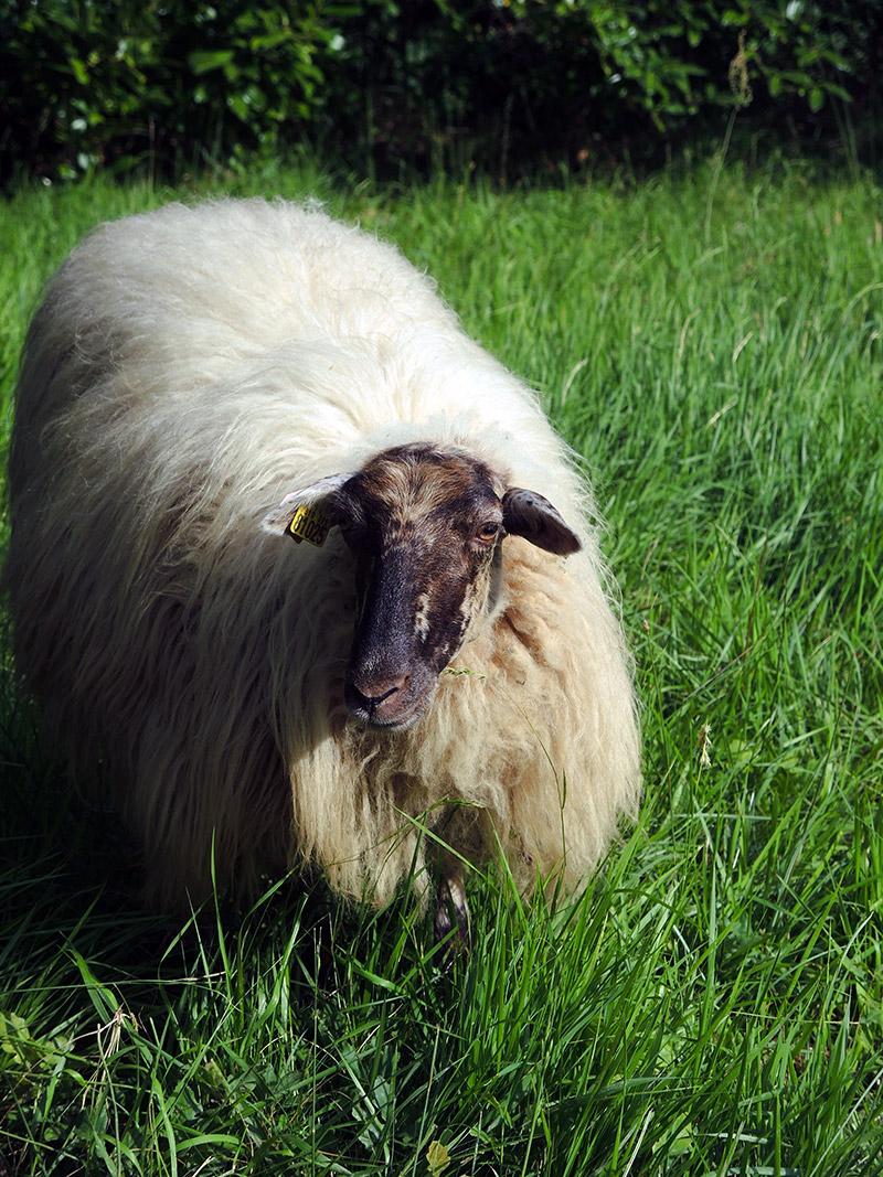 Eco pâturage., mouton landais